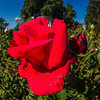 Rose(fisheye)