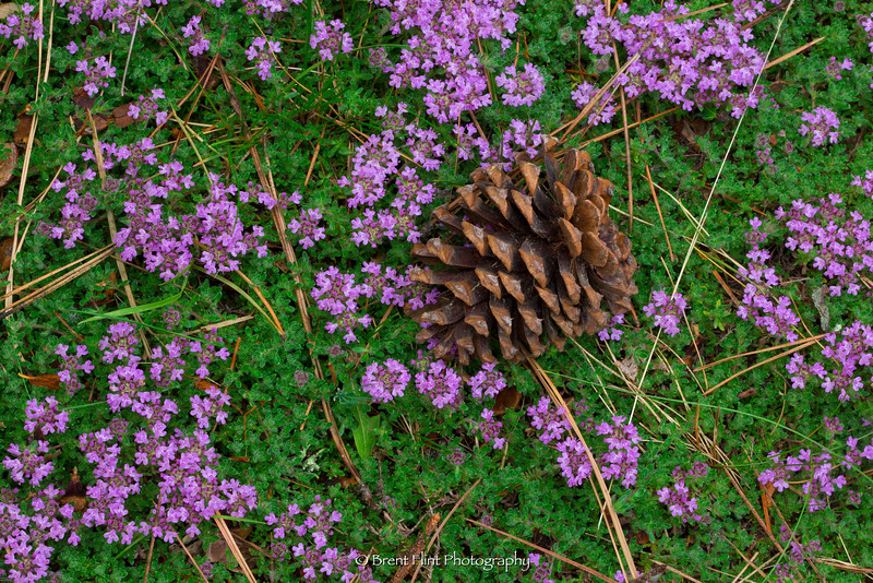 DF.3961 - ponderosa pine cone on creeping thyme, Bonner County, ID.