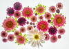 Daisies and Asters