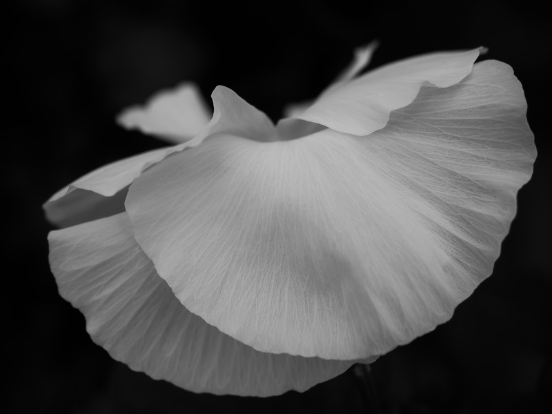 White Pansy In Black and White