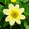 Bidens Ferulifolia 'Golden Goddess'