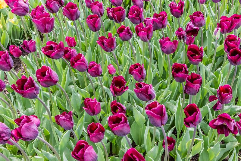 """""""Cum Laude"""" Tulip"""