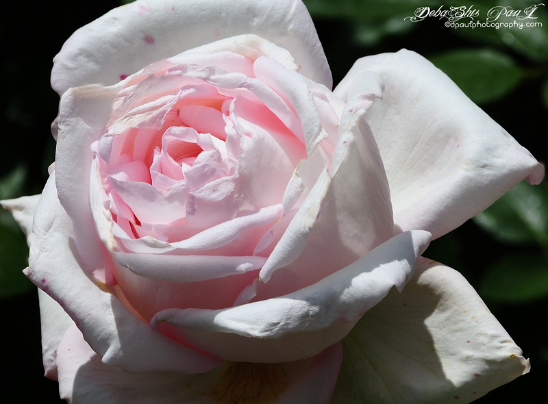 I am Dazzling Pink Beauty ... @ Rose Garden, Bern - Switzerland