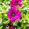 Sunny Cambria Flower