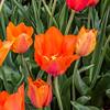 """El Nino"" Tulip"