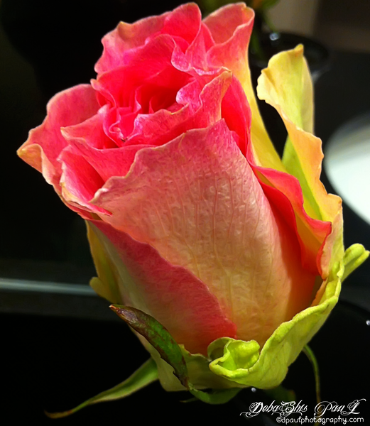 Vibrant color Rose ... Not very exciting quality but the Colors are pretty cool hence don't want to miss the opportunity!