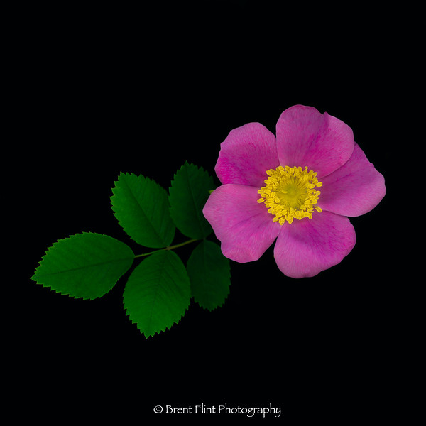DF.5386 - wild rose, Bonner County, ID.