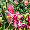 Pink & White Fan Columbine Profile