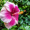 "Chinese Hibiscus ""Candy Striper"" Flower."