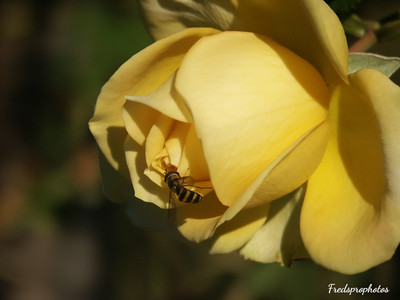 Yellow rose & bee