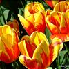Keukenhof Tulip Garden - Amsterdam,  Netherlands