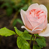 Delicate Pink Rose, Rose Garden Forst, Oberlausitz, Germany