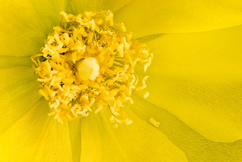 Close-up of a prickly pear (Opuntia) flower