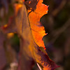 Autumn Leaf I