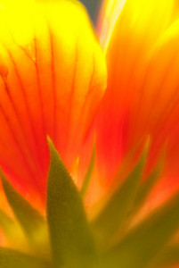 Underside of a backlit Mexican Blanket flower