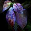 Oregon Hydrangea I