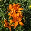 Orange Trumpet Lily