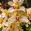 Yellow-White Phalaenopsis Hybrid Orchid