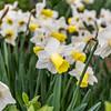 Trumpet Daffodil