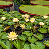 """Clyde Ikins"" Waterlilies"