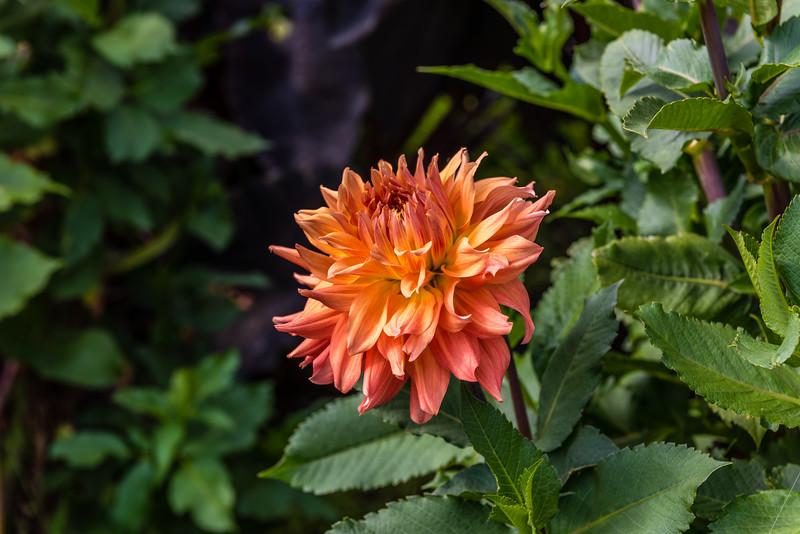 Orange & Pink Dahlia