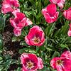 """""""Carola"""" Tulip"""
