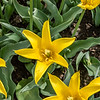 "Yellow ""Flashback"" Tulip"