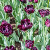 """Uncle Tom"" Tulip"
