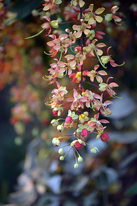 Cassia Cascade