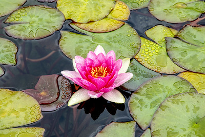 Water Lily, Dark Pink, Horizontal, Soka 16