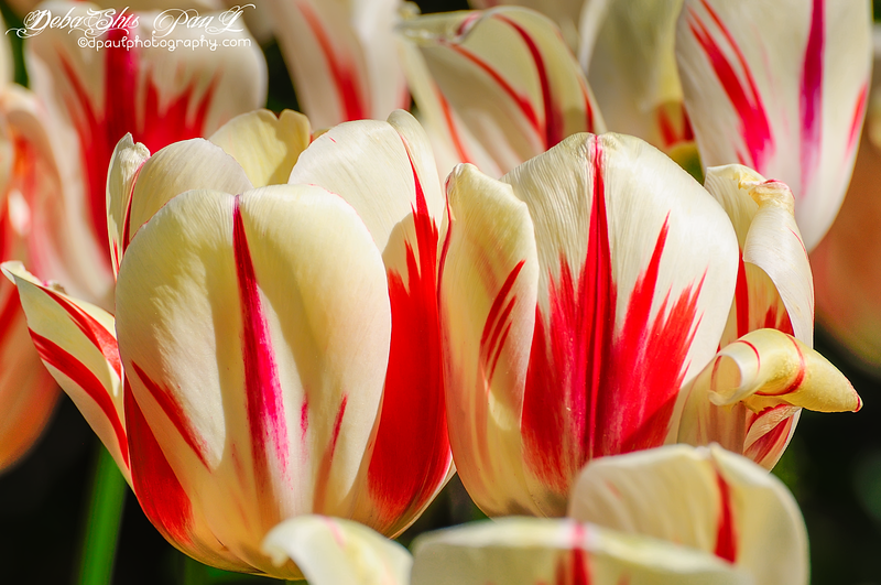 """Beauty of being together"" - Tulips @ Atlanta Botanical Garden, Atlanta - Georgia - USA"