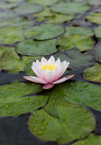 Water. Lily, Single, Pink, vertical Soka 11