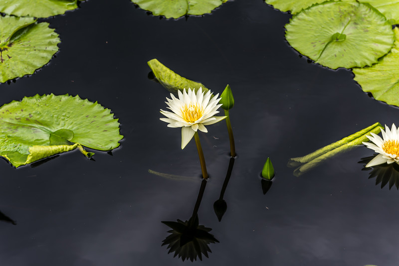"""""""Isabelle Pring"""" Waterlily"""