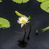 """Isabelle Pring"" Waterlily"