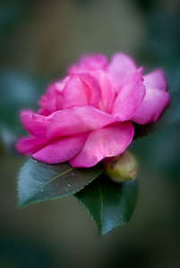 First Camelia bloom of the season