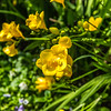 "Yellow Freesia ""Yvonne"""