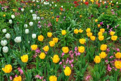 Tulips, Chanticlear Gardens. Wayne Pa.