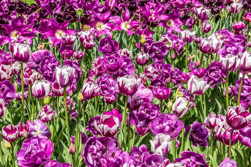 Triumph Tulip