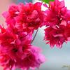 Bougainvillea glabra/ Paper Flower / Baganbilas (in Bengali)