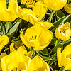 Yellow Double Late Tulip