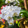 White Phalaenopsis Hybrid Orchid