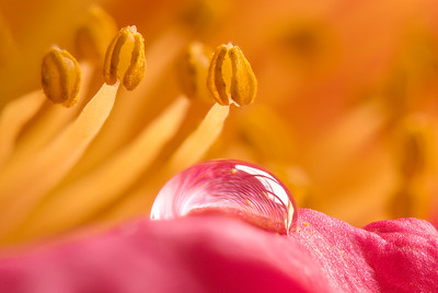 Close-up of Camelia stamens with a drop of water on a petal in the foreground.
