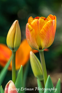 Monte Flame Tulip