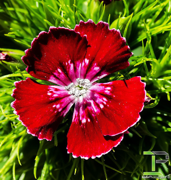 Red and White Flower