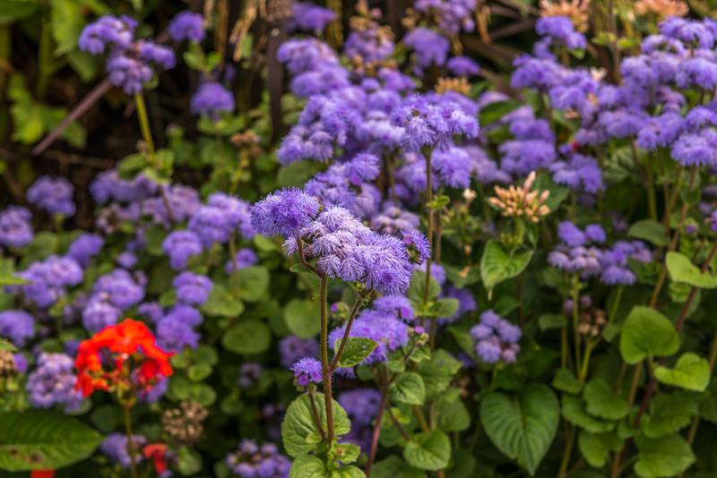 Blue Mistflowers