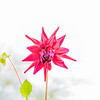 Overexposed Red Dahlia