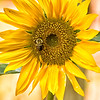 """Volunteer Sunflower"""