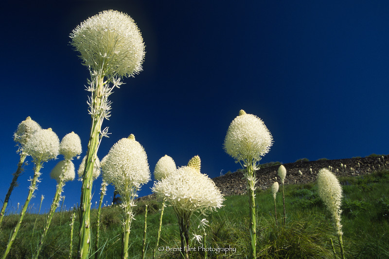 S.4466 - Beargrass, North Chilco Peak, Coeur d'Alene National Forest, ID.