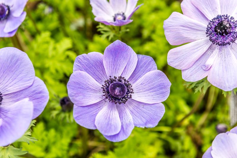 Poppy-Flowered Anemone