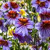 Multi-Colored Petunia